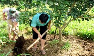 Bón phân cân đối cho cây bưởi