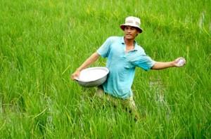 Bón phân đạm cho cây lúa