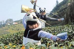 Trên cánh đồng trà bón phân gấu trúc