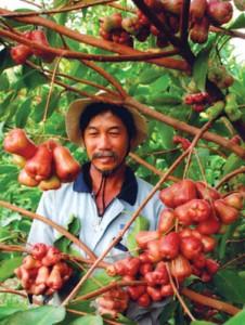 Bón phân cho cây ăn quả: bón phân cho cây mận