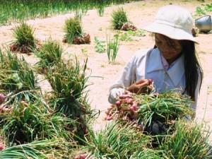 Phân bón lưu huỳnh có thể giúp giải độc cho cây